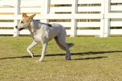 A young,beautiful,white and cream,brown,orange sable Canaan walking on the grass looking happy. Kelef K'naani dogs are medium sized with erect ears, almond eyes, intelligent and very good watchdogs.