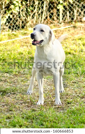A young beautiful white labrador retriever standing happily on the lawn. Lab dogs are very friendly and usually used as guide dogs.