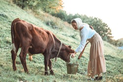 A young beautiful woman in old peasant clothes takes care of a cow, a bull in the field, gives him water from a bucket.