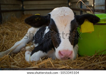 A young black and white colored calf lying in its cowshed