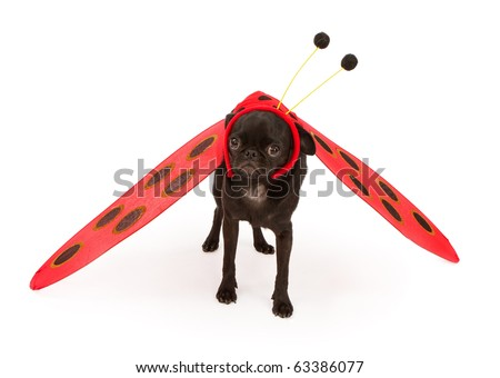 A young black pug puppy wearing a lady bug costume
