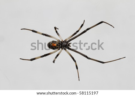 A young black widow hanging from it's web over white.