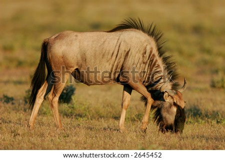 A young blue wildebeest (Connochaetes taurinus), Etosha National Park, Namibia