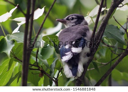A young bluejay sitting in the branches of a tree waiting to be fed.  It is not yet ready to fly, but can hop from branch to branch.  #1546881848