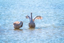 A young brown coloured white swan flaps its wings on the water. White swan is flapping its wings above calm blue water surface background. The mute swan, latin name Cygnus olor.