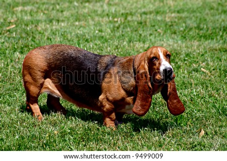 A young brown dachshund is idly looking at you with its big tired eyes