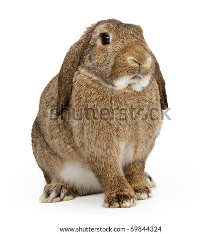 A young brown lop-earred rabbit isolated on white
