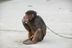 A Young Brown Monkey in Chains in Vietnam