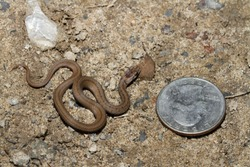 A young brown snake (Storeria dekayi) next to a US quarter for scale.