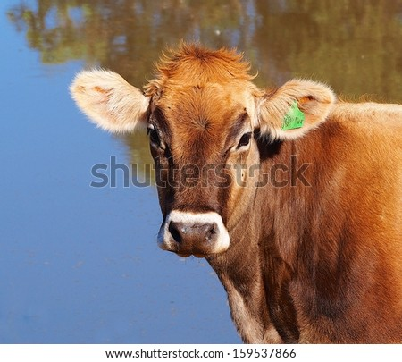 A Young Brown Swiss Dairy Cow