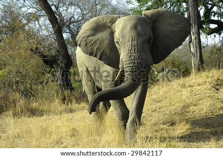 A young bull Elephant charges during a walk in Kruger National Park