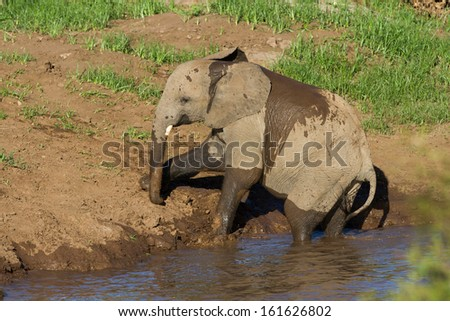 A young bull elephant playing at the edge of a river wetting its body