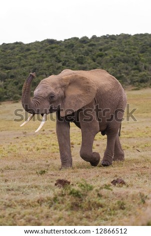 A young Bull elephant smells the air for Danger #12866512