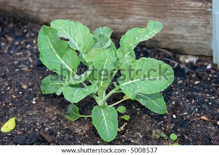 A young cauliflower plant growing in a vegetable garden plot