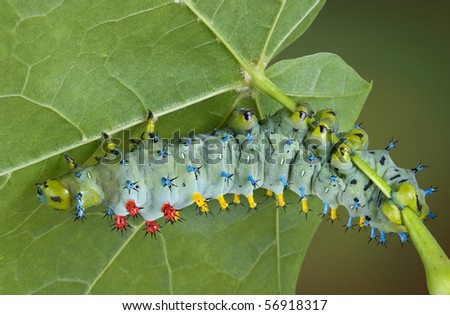 A young cecropia caterpillar is crawling on the underside of a maple leaf.
