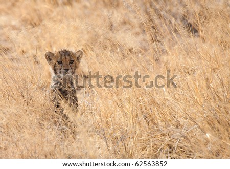 a young cheetah cub waiting for his mother, samburu, kenya
