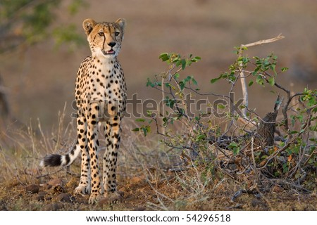 A young cheetah standing next to a small mopane shrub in late afternoon light
