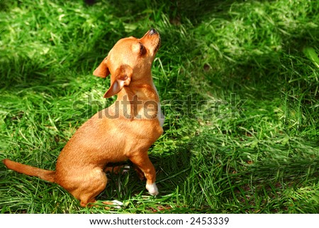 A young chihuahua puppy outside on green grass