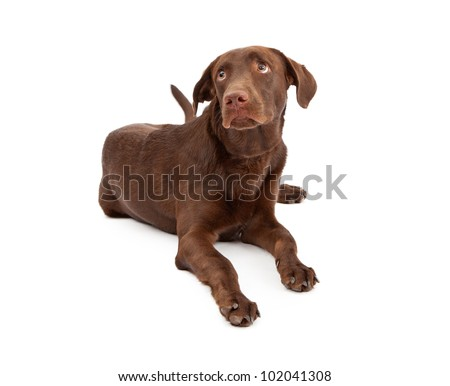 A young chocolate Labrador Retriever puppy laying down against a white background with a guilty look on his face