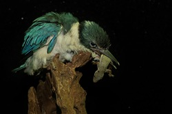 A young collared kingfisher (Todirhamhus chloris) is preying on a lizard on a rotting log.