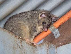 A young Common Brushtail Possum descending form a cottage roof in  south-western Australia.
