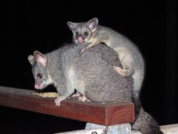 A young Common Brushtail Possum riding on its mother's back.
