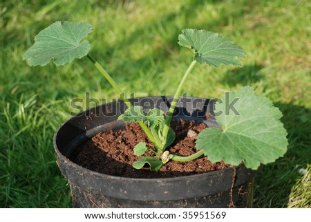 Young Zucchini Plant a Young Courgette Plant
