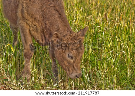 a young cow with head down about to graze