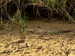 A young crocodile sitting on the Kinabatangan river bank in Borneo