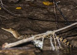 A young crocodile sitting on the Kinabatangan river bank in Borneo.