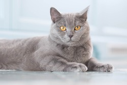A young cute cat is resting on a wooden floor. British shorthair cat with blue-gray fur and yellow eyes