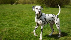 A young Dalmatian on a green lawn. Dalmatian dog on a walk