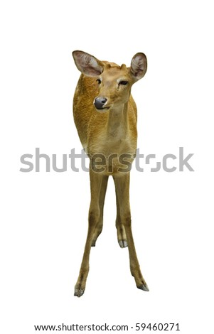 A young deer. isolated on white background