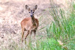 a young deer stands on the edge of the field and looks directly into the camera