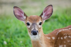 A young deer staring straight back at the camera