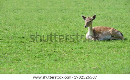 A young doe (dama dama) sits outdoors on a green meadow in springtime Foto stock ©