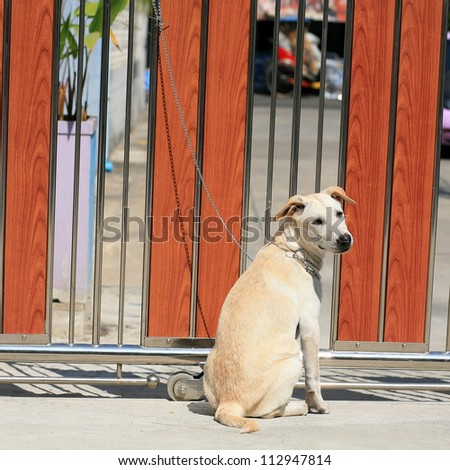 A young dog tied by metal chain on the gate to prevent visitors to be bitten