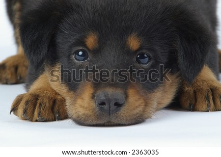 A young dog with beautiful eyes, resting on a white backdrop.