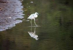 A young egret hunts in the shallow waters of a lake. Reflection of a molting bird in the shallow water of a tropical pond.