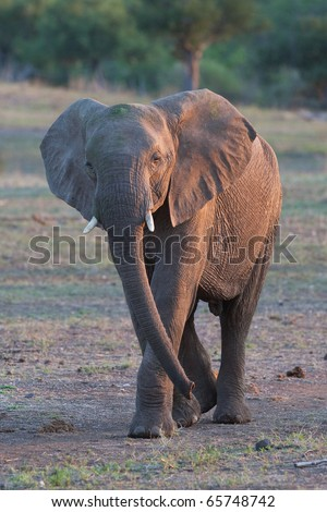 A young elephant bull in golden light