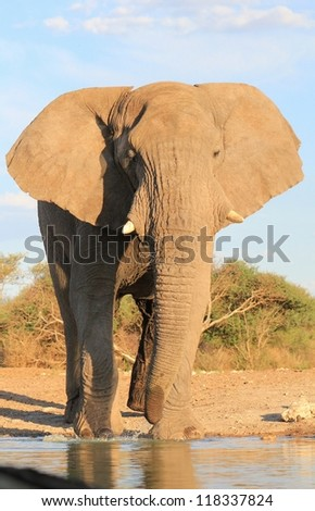 A young Elephant bull standing at a watering hole.  Photo taken on a game ranch in Namibia, Africa.