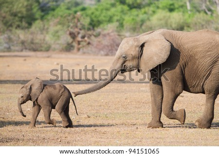 A young elephant smells her even younger sibling with her trunk