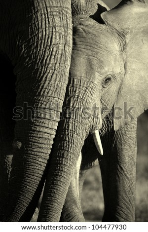 A young elephant stands next to his mother in this beautiful abstarct front on monochrome portrait,taken in Addo elephant national park,eastern cape,south africa