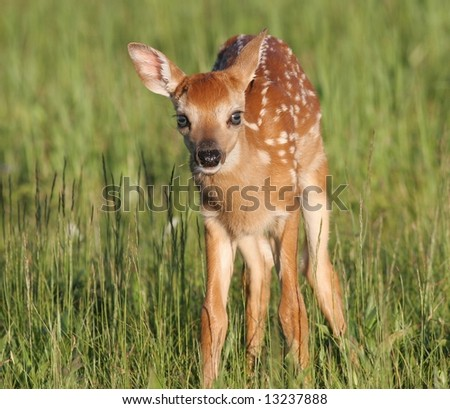A Young Fawn