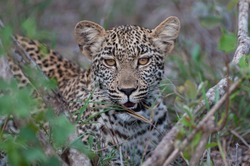 A young female Leopard seen on a safari in South Africa