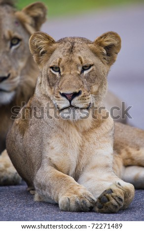 A young female Lion resting on a tar road, with a young male in the background - Kruger National Park, South Africa - stock photo