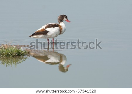 a young female of common shelduck resting on the ground
