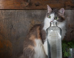 A young fluffy tricolor cat tries to drink from a tall glass bottle