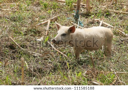 A young free range pig walking in a farmers field in Cotacachi, Ecuador