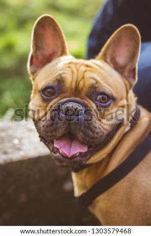 A young French bulldog during summertimes. #1303579468